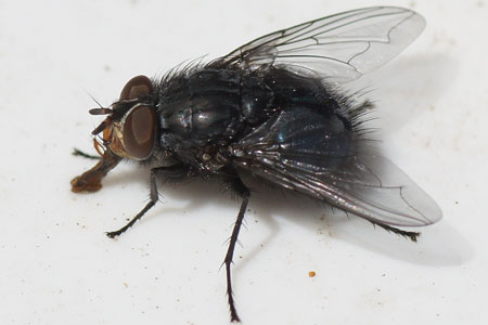 Blue bottle fly (Calliphora vicina). Family Blow-flies (Calliphoridae).