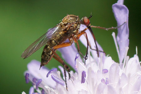 Empis livida. Family Empididae. female