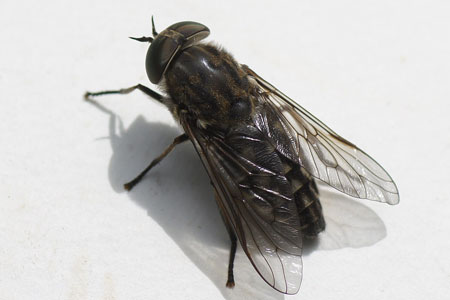 Large marsh horsefly (Tabanus autumnalis). Family Horse-flies, gadflies (Tabanidae). Female.