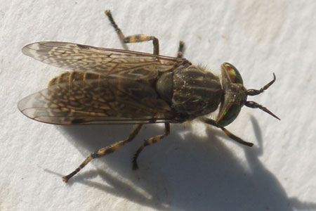 Horse Fly (Haematopota). Family Horse-flies, gadflies (Tabanidae). Female.