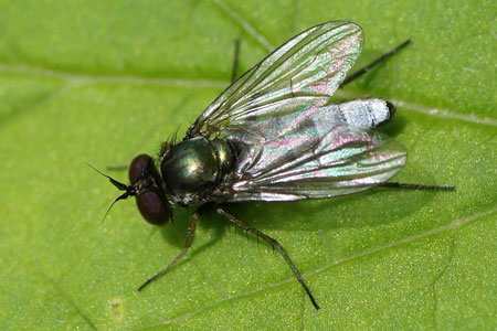Argyra. Family long-legged flies (Dolichopodidae).