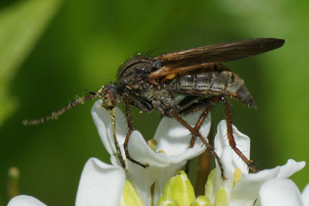 Empis tessellata. Family Empididae. Female