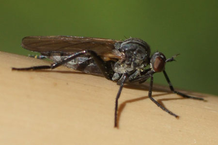 Rhamphomyia spec.  Family Empididae.