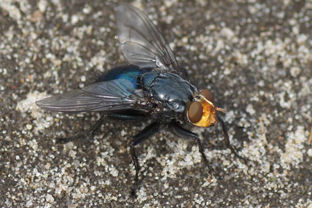 Fly of the death (Cynomya mortuorum). Family Blow-flies (Calliphoridae).
