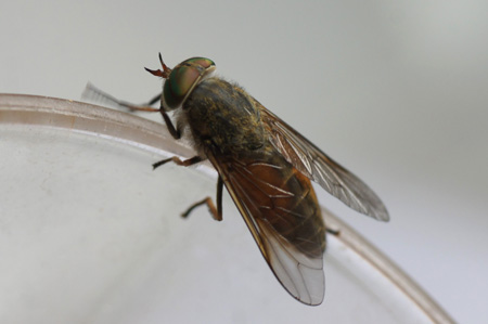 Yellow-horned levels horsefly (Hybomitra ciureai). Family Horse-flies, gadflies (Tabanidae). Female.