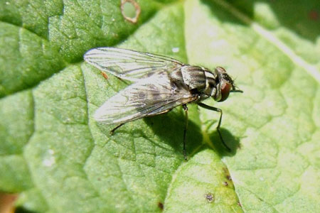 Stablefly (Stomoxys calcitrans). Genus Stomoxys. Tribe Stomoxyini. Subfamily Muscinae. Family House flies (Muscidae).
