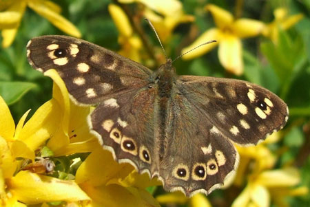 Speckled Wood (Pararge aegeria). Subfamily Satyridae. Family Nymphalidae.