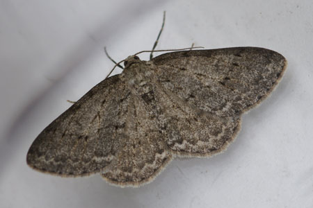 Engrailed, Small Engrailed (Ectropis crepuscularia) Family geometer moths (Geometridae)