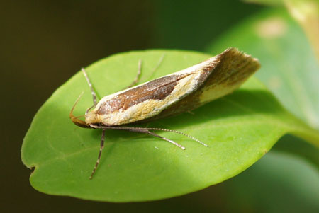 Harpella forficella Family: Concealer moths (Oecophoridae)