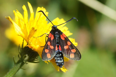 Six-spot Burnet (Zygaena filipendulae). Family Burnet moths, Forester moths, Smoky moths (Zygaenidae).