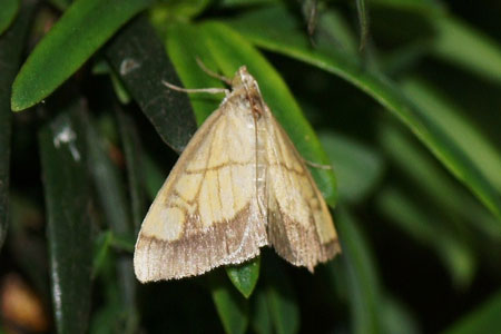 Evergestis limbata. Subfamily Evergestinae. Family grass moths (Crambidae).