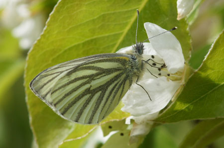 Green-veined White (Pieris napi). Family Pieridae.