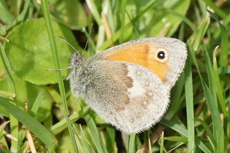 Small  (Coenonympha pamphilus). Subfamily Satyridae. Family Nymphalidae.