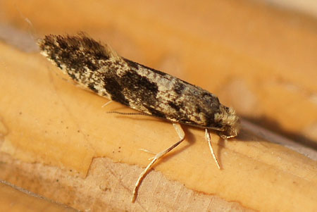 European Grain Moth (Nemapogon granella). Subfamily Nemapogoninae. Family fungus moths, tineid moths (Tineidae).
