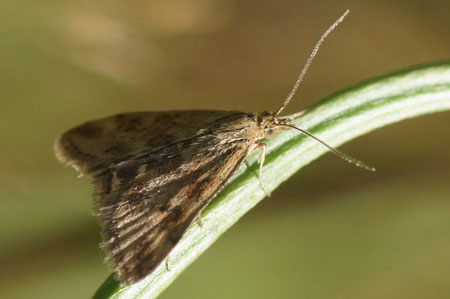 Straw-barred Pearl (Pyrausta despicata). Subfamily Pyraustinae. Family grass moths (Crambidae).