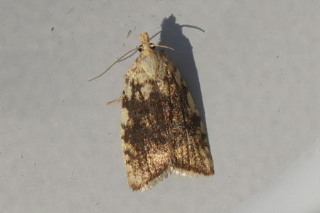 Aleimma loeflingiana. Tribe Tortricini. Subfamily Tortricinae. Family tortrix moths, leafrollers (Tortricidae).