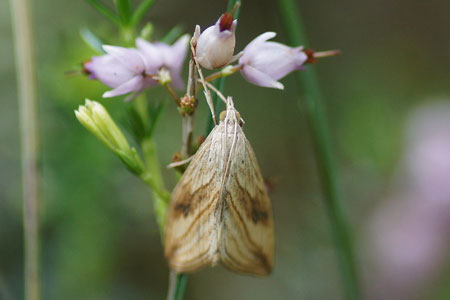 Garden Pebble (Evergestis forficalis). Subfamily Evergestinae. Family grass moths (Crambidae).