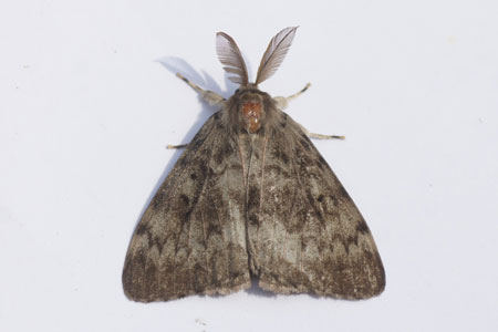 Gypsy Moth (Lymantria dispar). Family Tussock moths (Lymantriidae).