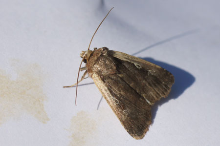 Flame Shoulder (Ochropleura plecta). Tribe Noctuini. Subfamily Noctuinae. Family Noctuidae or Owlet moths.