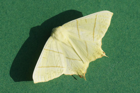 Vliervlinder (Ourapteryx sambucaria). Tribe Ourapterygini. Onderfamilie Ennominae. Familie spanners (Geometridae).