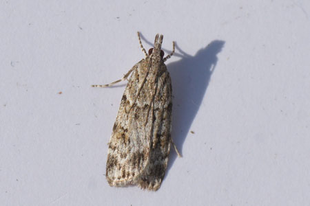 Scoparia ambigualis. Subfamily Scopariinae. Family grass moths (Crambidae).