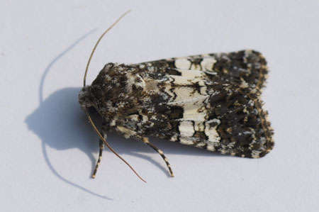 Varied Coronet (Hadena compta). Subfamily Hadeninae. Family Noctuidaeor or Owlet moths.