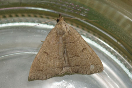 Fan-foot (Zanclognatha tarsipennalis, sometimes called Hypena tarsipennalis). Family Erebidae. Before 2011 it belonged to the family Noctuidae or Owlet moths.