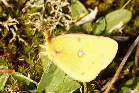 Dark Clouded Yellow, Common Clouded Yellow (Colias croceus). Family Pieridae
