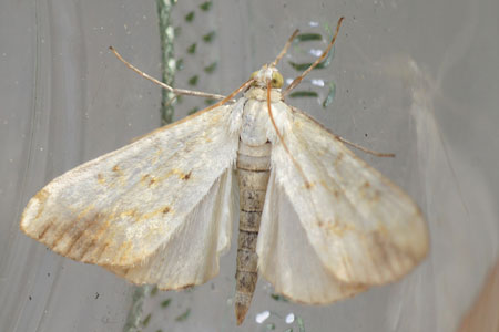 Evergestis extimalis. Subfamily Evergestinae. Family grass moths (Crambidae).