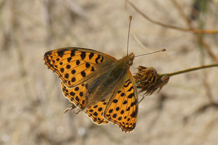 Queen of Spain Fritillary (Issoria lathonia). Family Nymphalidae.