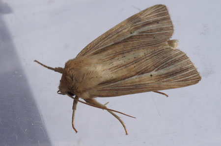 Smoky Wainscot (Mythimna impura, synonym Aletia impura). Subfamily Hadeninae. Family Noctuidae or Owlet moths.