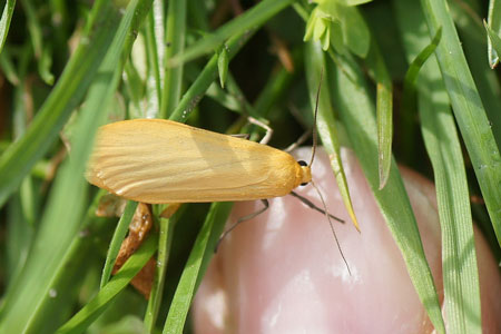 Orange Footman (Eilema sororcula). Subfamily Arctiinae. Family Erebidae.