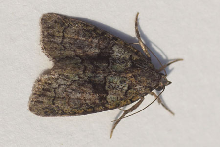 Tree-lichen Beauty (Cryphia algae, formely Discestra algae). Subfamily Bryophilinae. Family Noctuidae or Owlet moths.