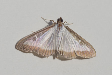 Box tree moth (Cydalima perspectalis). Subfamily Spilomelinae. Family grass moths (Crambidae).