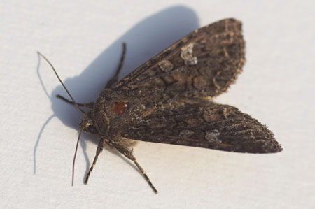 Cabbage moth (Mamestra brassicae). Subfamily Hadeninae. Family Noctuidae or Owlet moths.