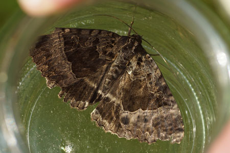 Old Lady (Mormo maura). Tribe Dypterygiini.  Subfamily Xyleninae. Family Noctuidae or Owlet moths.