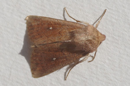 White-point (Mythimna albipuncta). Subfamily Hadeninae. Family Noctuidae or Owlet moths.