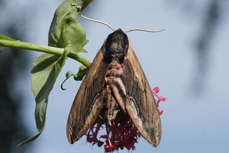 Privet hawk moth (Sphinx ligustri). Subfamily Sphinginae. Family Sphingidae.