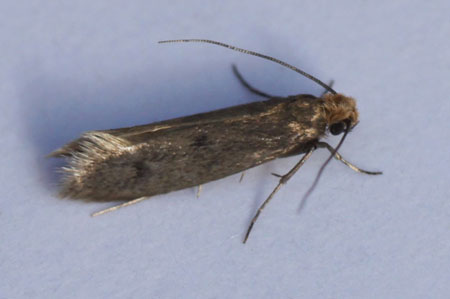Case-bearing clothes moth (Tinea pellionella). Subfamily Tineinae. Family fungus moths, tineid moths (Tineidae).