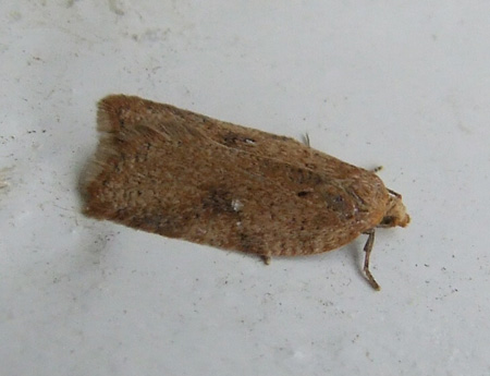 Acleris notana / Acleris ferrugana. Tribe Tortricini. Subfamily Tortricinae. Family tortrix moths, leafrollers (Tortricidae).