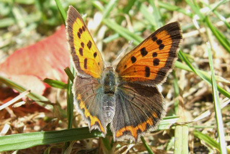 Small Copper, American Copper or Common Copper (Lycaena phlaeas). Family Lycaenids or Blues.