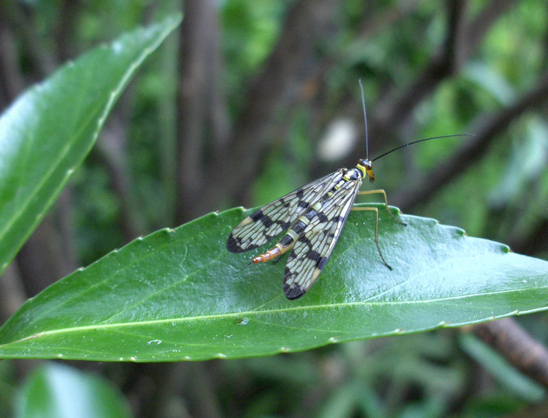 Scorpion fly, Panorpa germanica. Female. Family scorpion flies (Panorpidae).
