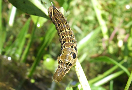 Elephant Hawk-moth (Deilephila elpenor) caterpillar. Family Sphingidae.