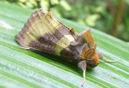 Burnished Brass (Diachrysia chrysitis) Family Noctuidae or Owlet moths