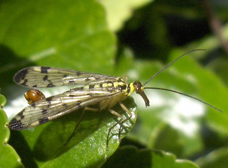 Scorpion fly, Panorpa germanica. Male. Family scorpion flies (Panorpidae).