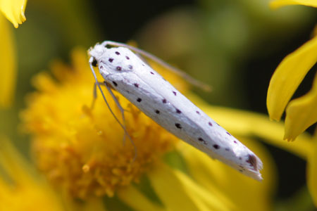 Ermine moth (Yponomeuta) Family Ermine moths (Yponomeutidae)