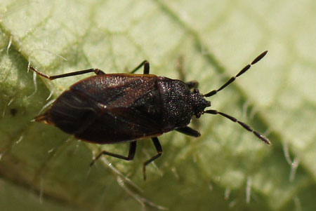 Drymus ryeii. Family: Seed Bugs or Ground Bugs (Lygaeidae)