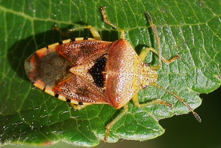 Parent Bug, Motherly Shield Bug (Elasmucha grisea). Family Acanthosomatidae.