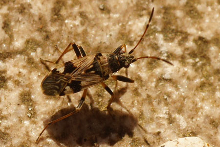 Beosus maritimus. Family Seed Bugs or Ground Bugs (Lygaeidae).