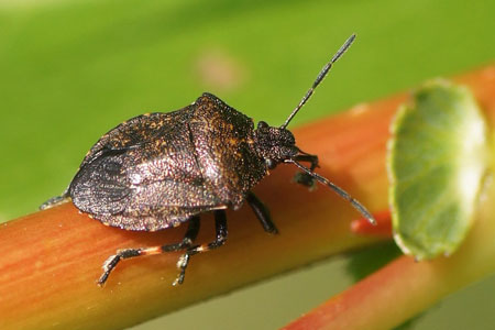 Heather Shieldbug (Rhacognathus punctatus). Family Stink bugs (Pentatomidae).